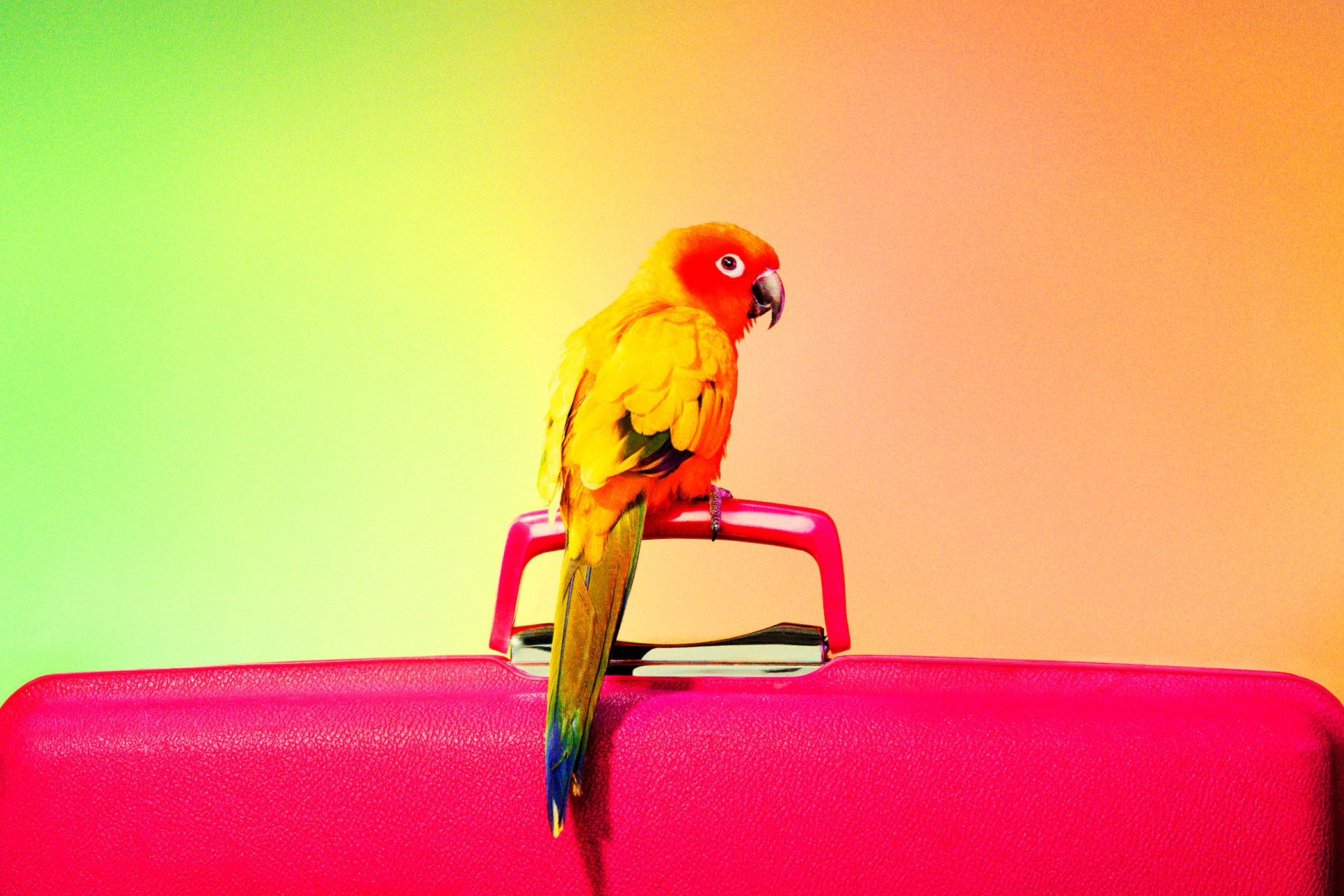 yellow and red bird on pink case